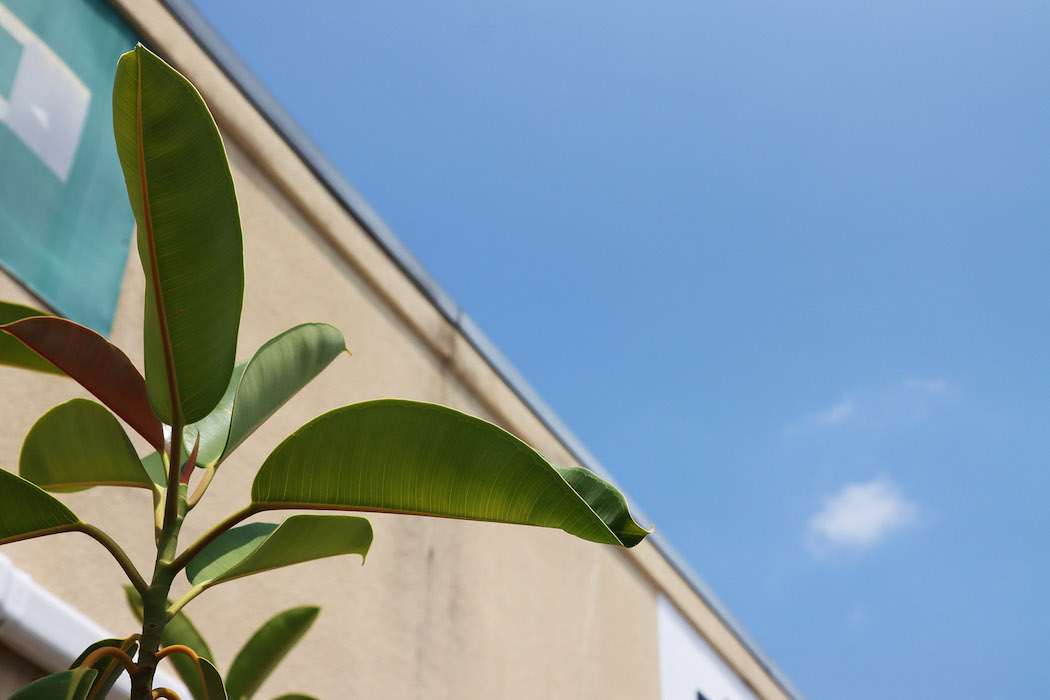 社内で育てているゴムの木、夏の日差しを浴びて元気な様子